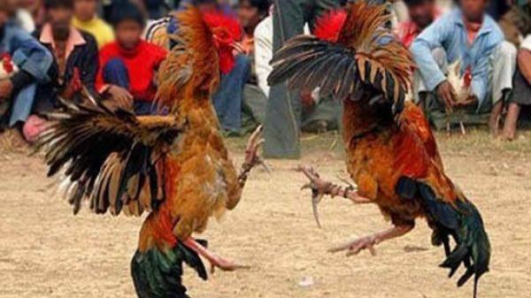Polres Kediri Kota Gerebek 2 Arena Judi Sabung Ayam